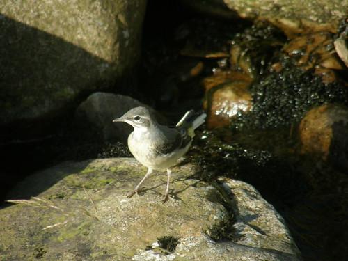 Juvenile grey wagtail II