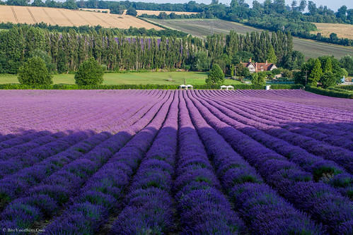 Lavender Fields. France