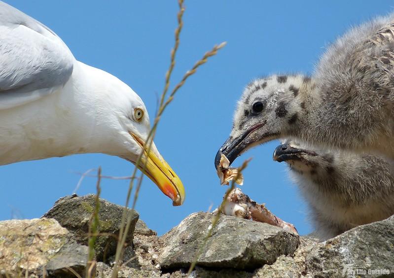P1070902 - Juvenile Herring Gulls, Conwy