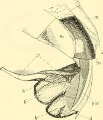 """Image from page 233 of """"Zeitschrift für wissenschaftliche Zoologie"""" (1912)"""