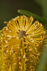 Banksia sp.