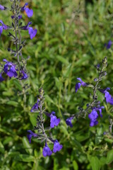 SALVIA 'Blue Note'