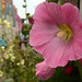 Small photo of Alcea rosea