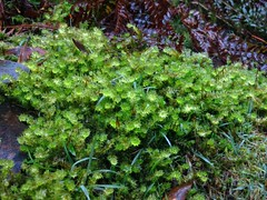 2014-08-10 Lilydale Falls 093 - Damp moss