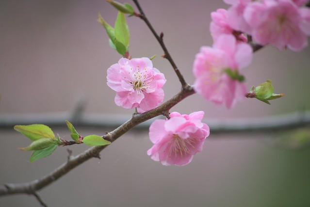 plum blossom 8