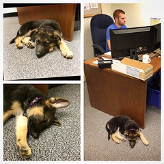 My brother got a puppy! And she is an excellent napper, even at work! #puppy #germanshepherd