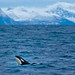 Orca - Photo by Jan Reyniers
