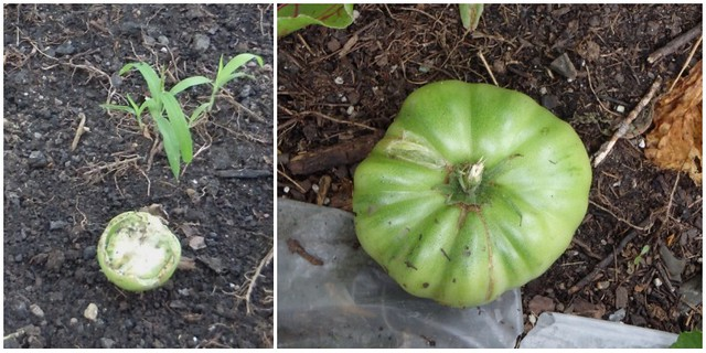 half of a green tomato, and a whole green tomato lying on the ground