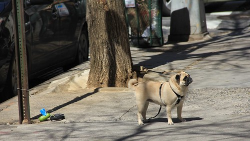 New York pug