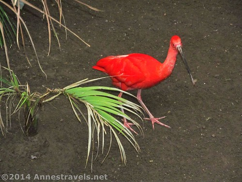A scarlet Ibis in the bird house, Cape May Zoo, New Jersey