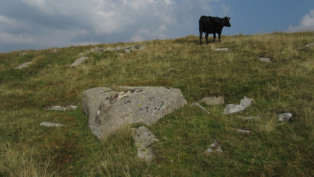 Encounter with a cow at the reported sight of Billy's Tor