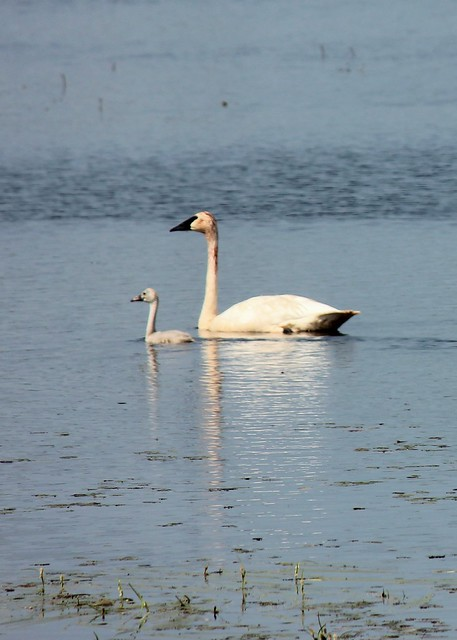 Trumpeter Swan and Cygnet from Flickr via Wylio