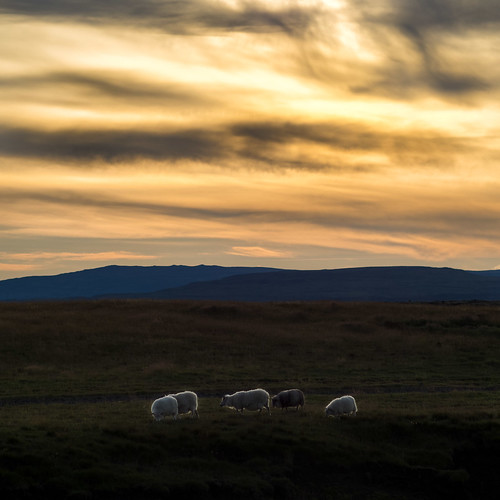 sunset clouds iceland twilight sheep homecoming cominghome endofday