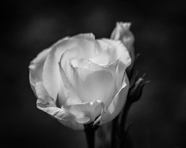 Monochrome, B&W, Rose, Flower, Flowers, Black, White