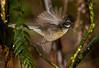 Fantail - piwakawaka
