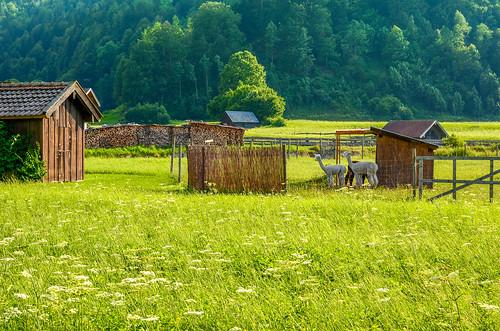 Alpacas, Garmisch-Partenkirchen, Germany
