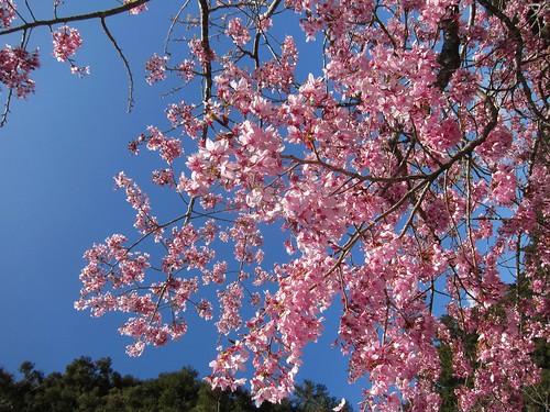 阿里山每年櫻花季吸引每日吸引上萬名遊客來訪。(圖:嘉義林區管理處)