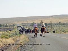Trailin' Cattle