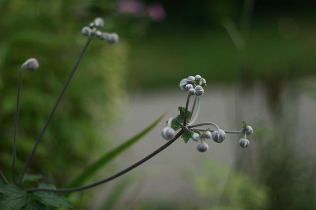 anemone flower buds
