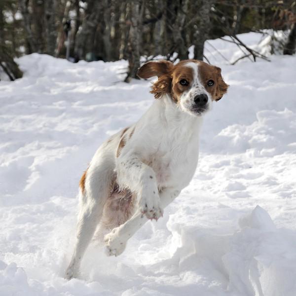 el perro Spaniel bretón corriendo una carrera