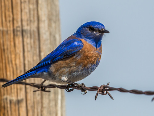 westernbluebird bluebird sialia sialiamexicana turdidae thrush nigelje beaverlakeroad lakecountrybc okanagan bird