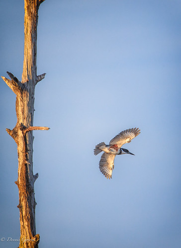 action background bird flight florida kingfisher sunset vierawetlands wildlife melbourne unitedstates us