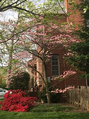 Pink dogwood and red azalea, Albemarle Street NW, Washington, D.C.