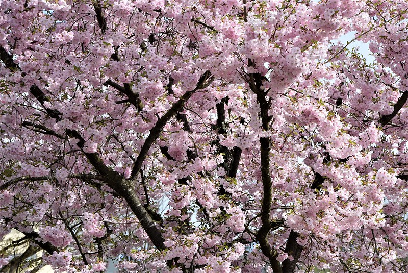 Japanese Cherry Blossoms 31.03 (1)