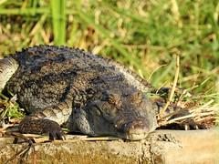 Crocodile Lake Baringo Kenya 3