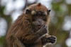 monkey portrait Philippines _6381