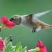Rufous Hummingbird by jimculp@live.com / ProRallyPix