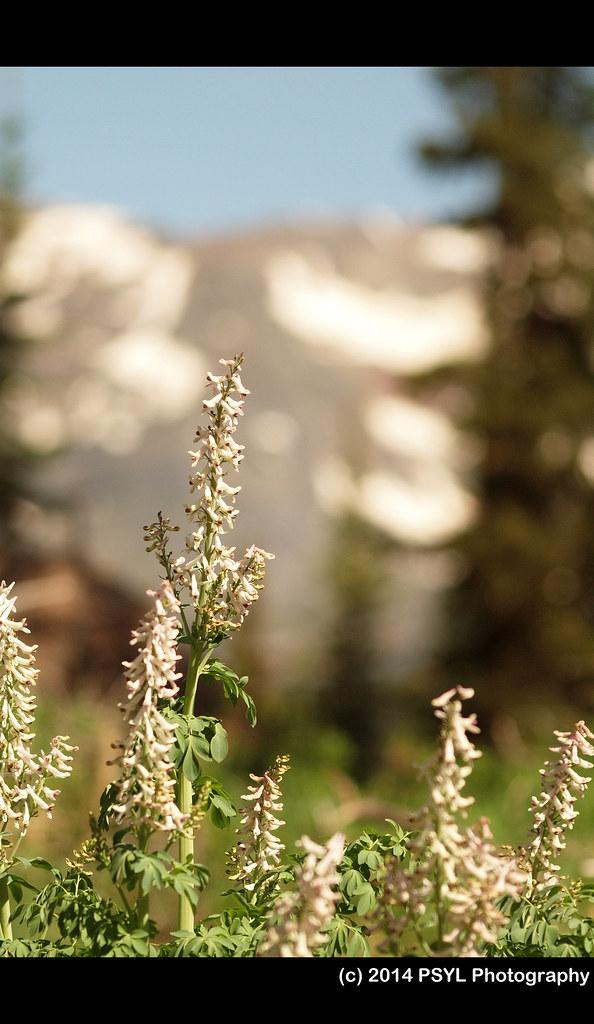 Corydalis caseana