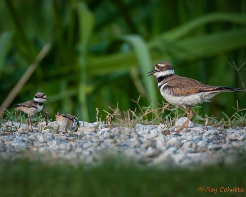 baby bird babies killdeer