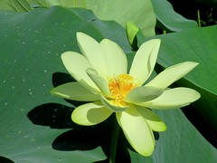 Artistic Water Lily
