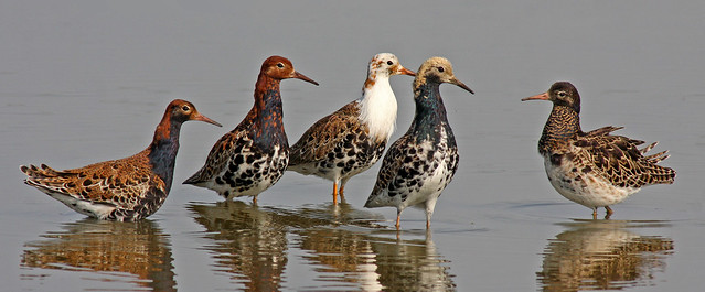 Ruff, Calidris pugnax (COVER PHOTO)