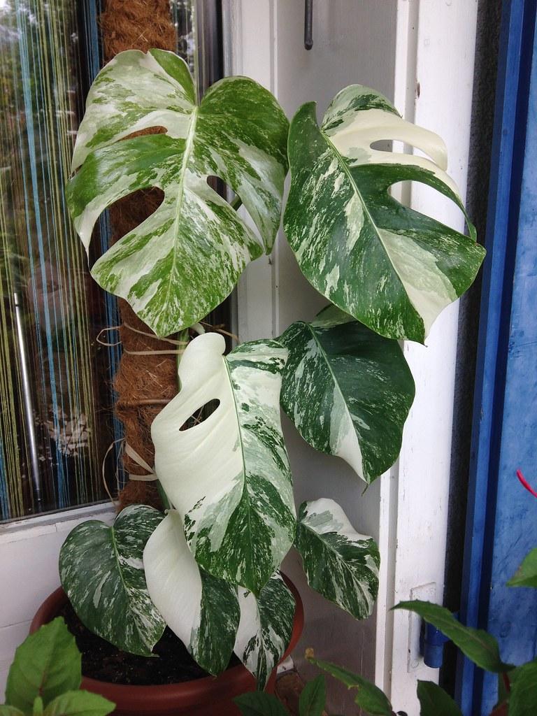 Monstera deliciosa variegata 14483748349_2ac64477cb_b