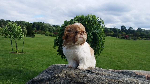 Renesmee the Shih Tzu 15 weeks old