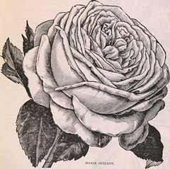 """Image from page 39 of """"Our new guide to rose culture : 1898"""" (1898)"""