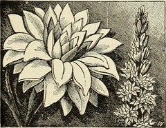 """Image from page 80 of """"Seeds, bulbs, plants"""" (1908)"""