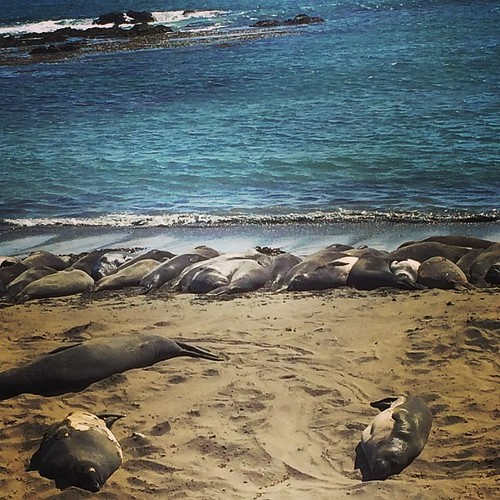 Elephant seals taking naps in #cambria. #highway1 #kategoestocalifornia