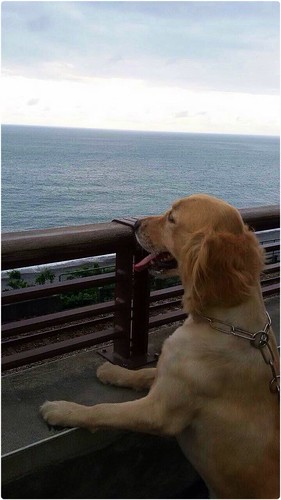 「認養」台灣北部2歲黃金獵犬弟弟~會提供飼料~誠徵會照顧他一輩子的新家~謝謝您!20140731