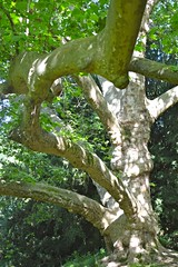 Plane tree in Limousin - Photo of Massignac