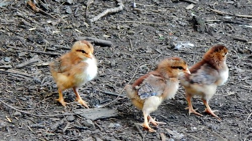 Three day old Icelandic chicks