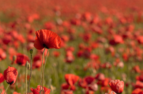 FIRE- poppies in full bloom, summer 2014