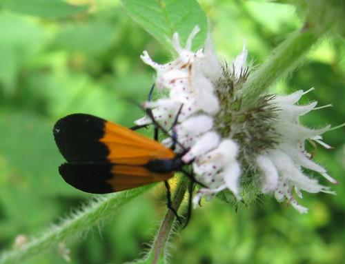 Black and yellow lichen moth (Lycomorpha pholus), Wyalusing State Park