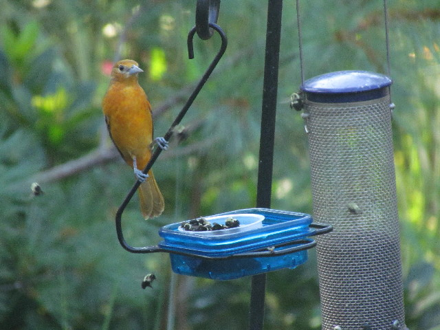 Oriole and bees3 8:17:14
