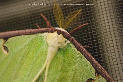 Luna Moth RL macro