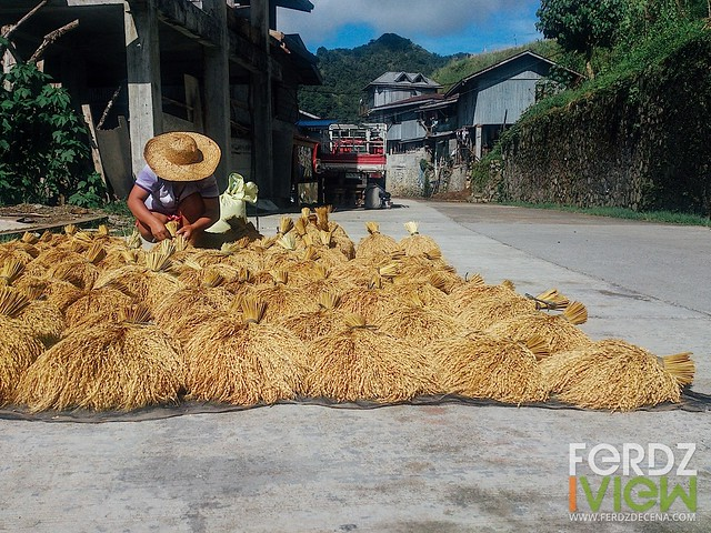 A familiar scene on the road, locals busy with their harvest