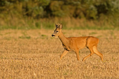 Young Roe Deer buck