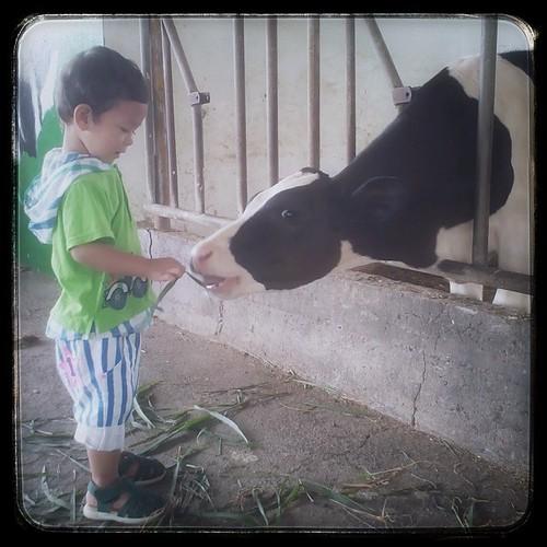 Feeding Time! #farm #taiwan #changhua #cow